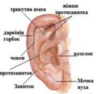 Зовнішнє вухо